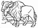 Buffalo Coloring Pages Bison Bills Head Indian Cape Adults Getcolorings Printable Sauti Pata Soldiers Getdrawings Colorings sketch template