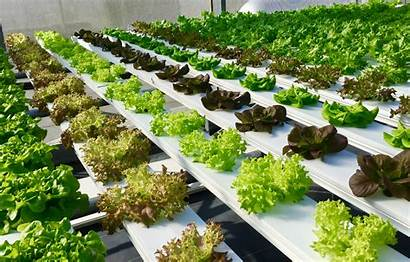 Soil Hydroponic Plants Grow Without Farming Research