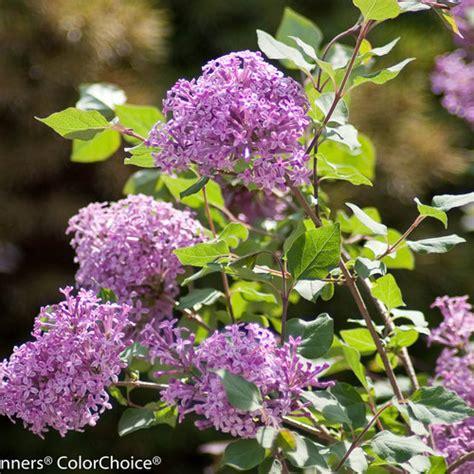 lilacs that bloom all summer bloomerang 174 purple reblooming lilac syringa x proven winners