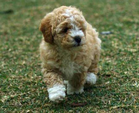 little fluffy baby poodle bichon frise cocker