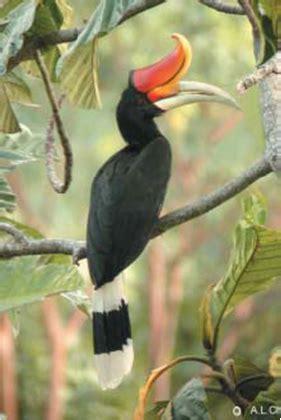keanekaragaman burung rangkong enggang indonesia alamendahs blog
