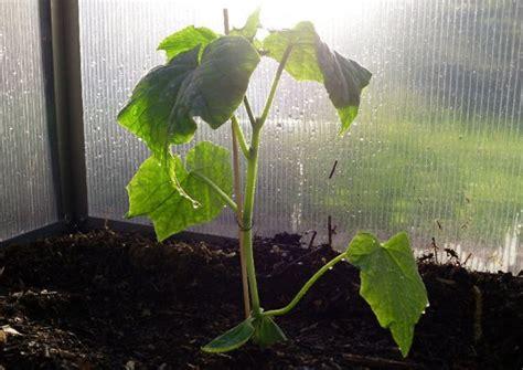 Salatgurken Anbauen Im Eigenen Garten by Gurken Auss 228 En Und Anbauen Treibhausgurken Und