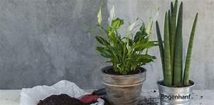 Pflanzen Für Gesundes Raumklima : raumklima verbessern diese 8 pflanzen sorgen f r frische luft ~ Indierocktalk.com Haus und Dekorationen