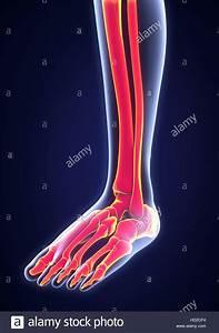 Human Foot Anatomy Stock Photos  U0026 Human Foot Anatomy Stock Images