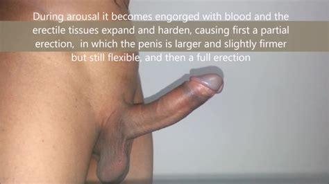 Complete Penis Erection Process