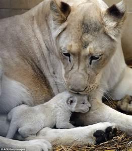 Newborn white lion triplets take first steps in new world ...