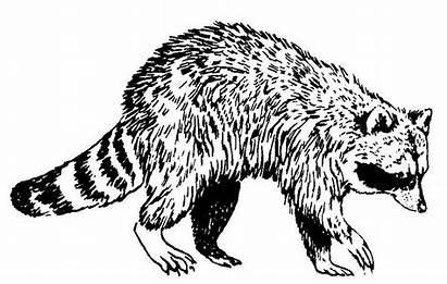Raton Raccoon Laveur Animals Coloring Dessin Printable