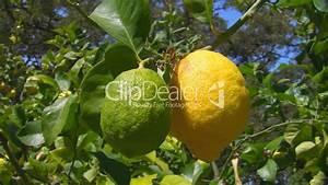 Zitronenbaum Gelbe Blätter : gr ne und gelbe zitorne an einem baum lizenzfreie stock ~ Lizthompson.info Haus und Dekorationen