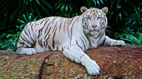 White Tiger Panthera Tigris Free Photo Pixabay