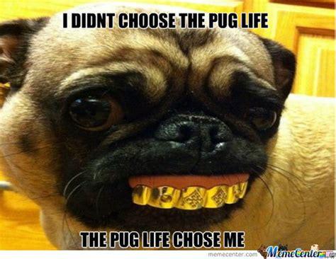 Pug Meme - pug memes 187 pugs rule my heart