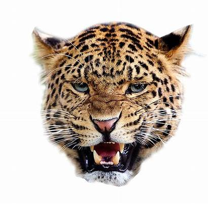 Leopard Background Face Tiger Angry Transparent Clipart