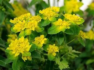 Busch Mit Gelben Blüten : giftpflanzen ~ Frokenaadalensverden.com Haus und Dekorationen
