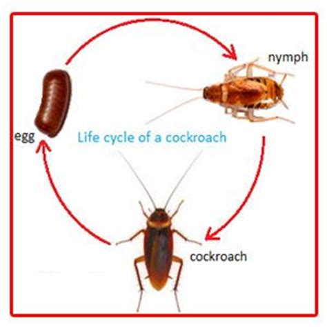 cockroach life cycle life cycles science  kids