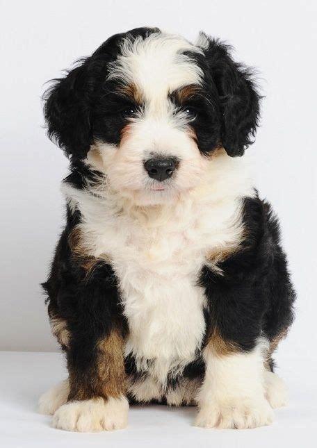 mini bernedoodles bernese mountain poodle cross 25 49 lbs grown 15 20 non
