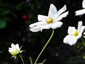 Herbst Schwarz Weiß : cosmea blumen schwarz wei schmuckk rbchen herbst von hibiskus wunder bei kunstnet ~ Orissabook.com Haus und Dekorationen