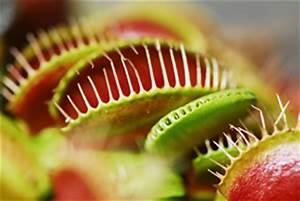 Fleischfressende Pflanze Pflege : fleischfressende pflanzen karnivoren ratgeber ~ A.2002-acura-tl-radio.info Haus und Dekorationen