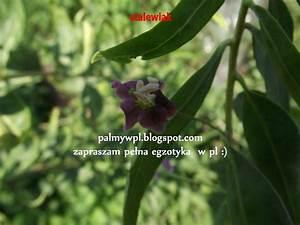 Jagoda goji - waściwości, uprawa w Polsce, gdzie kupić sadzonki