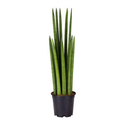 sansevieria cylindrica sansevieria cylindrica potted plant ikea