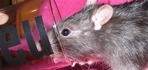 Comment Tuer Un Rat : comment se dbarrasser des mulots et campagnols stunning ~ Mglfilm.com Idées de Décoration