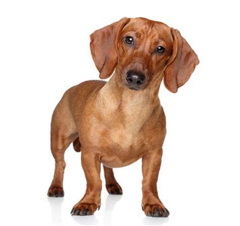 dackel wesen bilder und rasseinfos hunderassen