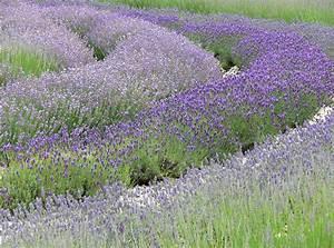 Lavendel Wann Schneiden : lavendel schneiden herbst lavendel schneiden mit 3 schnitten durch das jahr pflanzen schneiden ~ One.caynefoto.club Haus und Dekorationen