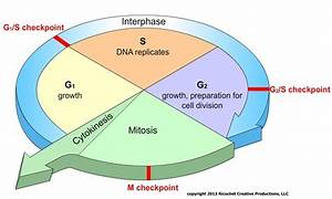 Mrs Cruz U0026 39 S Biology Class  Chapter 5 Cell Growth And Division