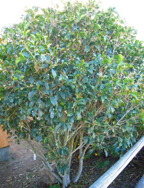 pruned  sweet olive