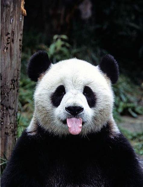 stickers arbre pour chambre bebe le bébé panda pouvez vous choisir le plus mignon