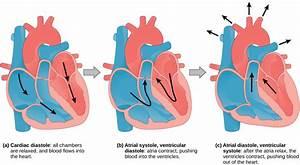 The Mammalian Cardiac Cycle