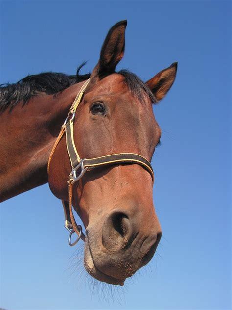 la dur 233 e de vie du cheval