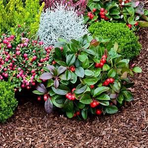 Plantes Et Jardin : gaulth rie procumbens plantes et jardins ~ Melissatoandfro.com Idées de Décoration