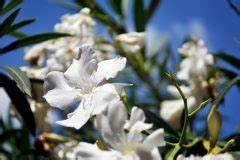 Oleander Draussen überwintern : oleander von spinnmilben befallen was k nnen sie tun ~ Eleganceandgraceweddings.com Haus und Dekorationen