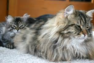 siberian cats siberian cat purrfect cat breeds