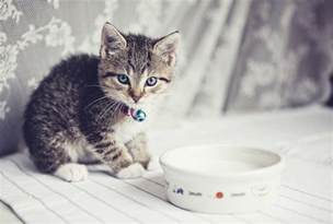 milk for cats is it ok for cats to drink milk howstuffworks