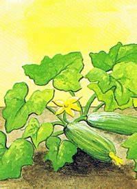 Zucchini Faulen An Der Spitze : gartenschlumpf zucchini ein ertragreiches fruchtgem se f r den garten ~ Eleganceandgraceweddings.com Haus und Dekorationen