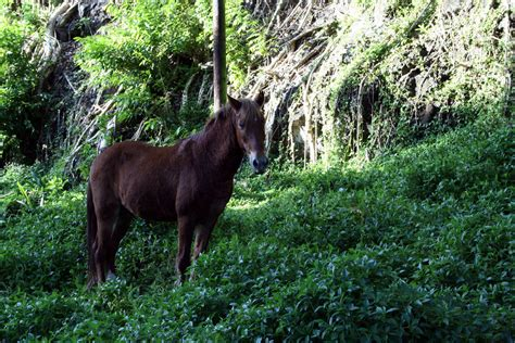 cheval des marquises wikip 233 dia