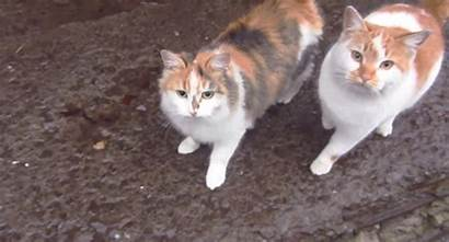 Cat Ginger Calico Gifs Kitty Cats Mine