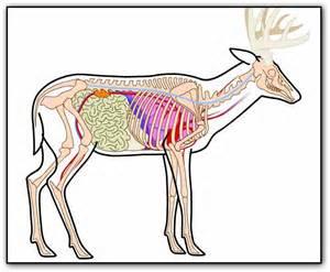 Deer Leg Bone Anatomy