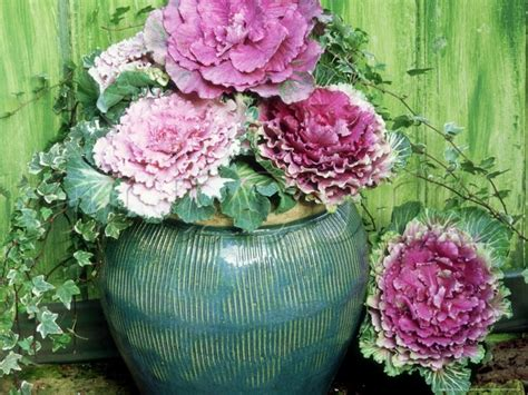 decorative cabbage and kale ornamental cabbage with ivy garden containers pinterest