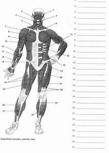 Human Anatomy Labeling Worksheets
