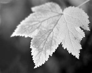 Leaf Photography Black and White 11x14 by PureNaturePhotos ...