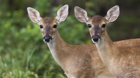 Two Deer Looking at Same Location Pics | HD Wallpapers