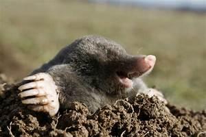 Tiere Vertreiben Ultraschall : maulw rfe sanft vertreiben ~ Articles-book.com Haus und Dekorationen