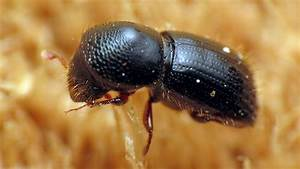 Ambrosia Beetles Nurture Their Gardens Of Fungus With Alcohol