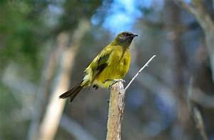 Bellbird/korimako : New Zealand native land birds