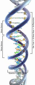 File:3DScience DNA structure labeled Angstroms.jpg ...