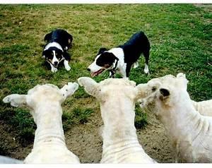 Herding Dogs   Flickr - Photo Sharing!