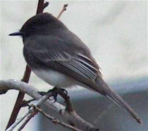 northern california coast plain little gray bird birdforum