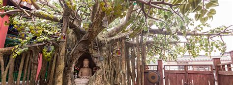 where can i buy a bodhi tree bodhi tree attraction of lantau tourism