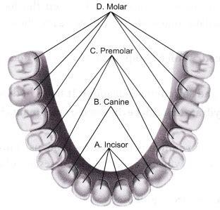 draw  diagram   buccal cavity  label
